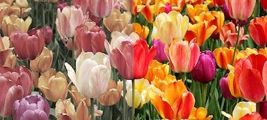 Slika, ki prikazuje naravne barve s tehnologijo XR Triluminos PRO™